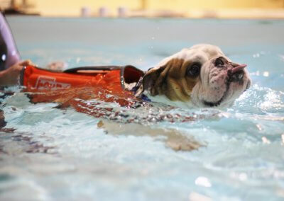 Bulldog canine hydrotherapy swim session